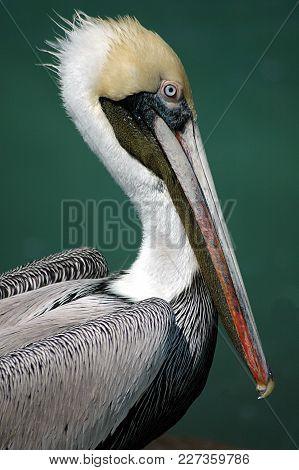 Majestic Pelican Closeup Background In The Wild Flori