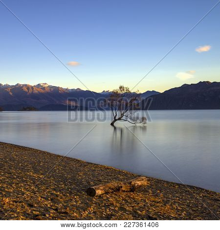 The Famous Wanaka Tree Or Lonely Tree Of Wanaka, Maybe The Most Photographed Tree In The World. Wana
