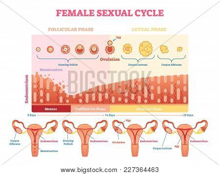 Female Sexual Cycle Vector Illustration Graphic Diagram With Menstruation And Ovulation Chart And Ut