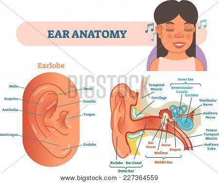 Ear Anatomy Medical Vector Illustration With Outer, Middle And Inner Ear Cross Section Diagrams. Edu