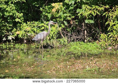 Remarkable Great Blue Heron Stalking, Tracking, Hunting, And Fishing On Lake In Sliver Lakes Communi