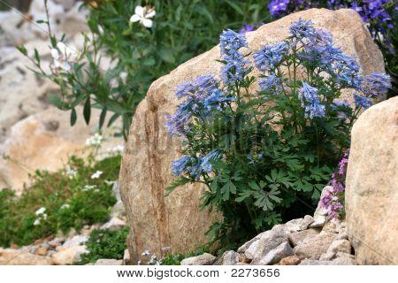 0448 Corydalis In Rock Garden