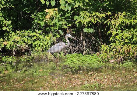 Great Blue Heron Stalking, Tracking, Hunting, And Fishing On Lake In Sliver Lakes Community In Clark
