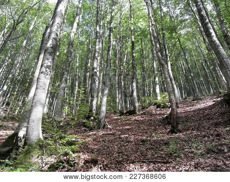Beech Forest Landscape In Summer . Tuscany, Italy