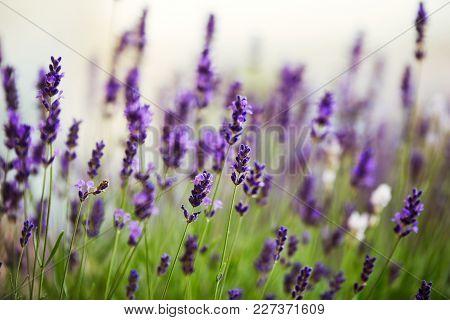 Lavender Bushes Close Up On Sunset. Bushes Of Lavender Flowers Blooming.