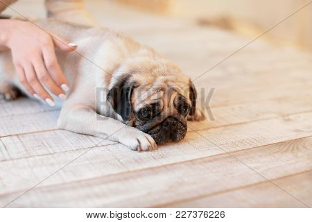 Cute pug dog with owner on floor at home. Pet adoption