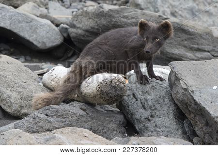 Breast-feeding Female Of The Commanders Blue Arctic Fox Jn The Copper Island Which Stands From The C