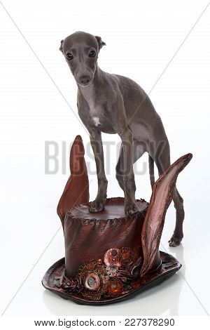 Italian Greyhound Puppy Stands On A Steampunk Style Hat,  Isolated On White