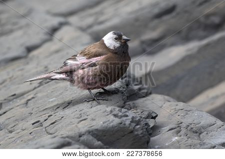 Grey-crowned Rosy Finch Sitting On A Coastal Rock Near Its Nest On A Summer Day
