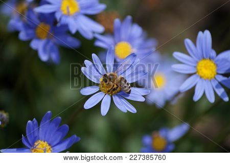 Lilac Flower With A Bee Collecting Pollen Or Nectar. Purple Flower Like A Daisy In Flower Bed.