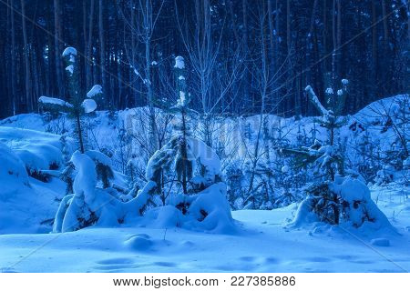 Young Christmas Trees Grow In The Snow Against The Background Of A Mysterious Night Forest Central T