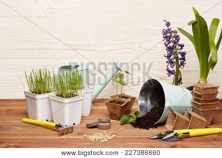 Gardening tools, bucket with soil, peat pots, seeds,  young seedlings  on a wooden  background. Concept of spring gardening.