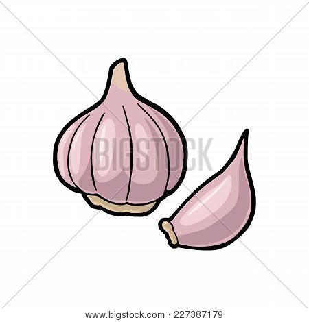 Garlic Whole Head And Clove. Vector Color Vintage Engraving Illustration. Isolated On White Backgrou