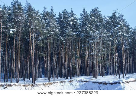 High Pine Trees On The Edge Of A Forest Under A Blue Sky Bright Winter Day Is Very Beautiful No One
