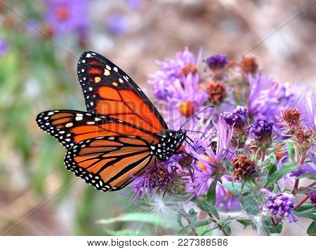 Monarch Butterfly On Purple Wild Aster In Forest Of Thornhill, Canada, September 25, 2017