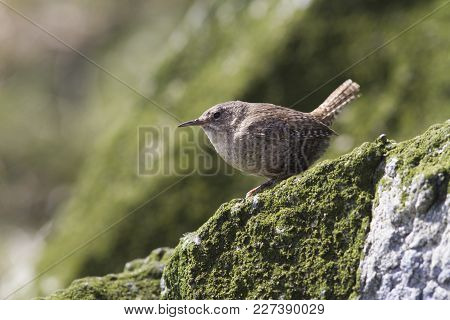 Winter Wren Sitting On A Rock On The Seaside Slope Of Copper Island On A Summer Day
