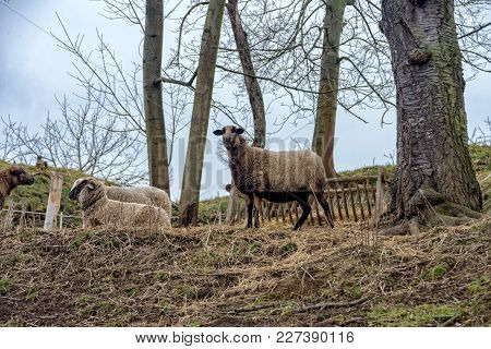 A Cameroon Sheep Stands In The Pasture In Jena