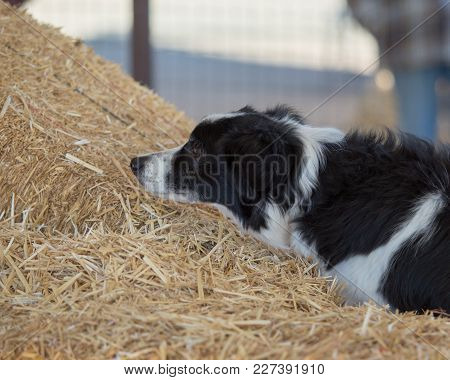 Border Collie Smelling At The Bales Of Hay Looking For A Rat During A Hunt