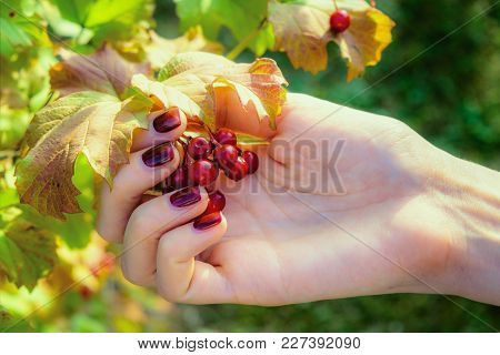 Young Girl With A Red Fingernails Gathering Berries Of The Same Color In A Little Garden.