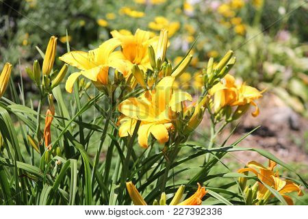 Orange Day Lily (hemerocallis) Beside An Old Country Road. Day Lilies Are Rugged, Adaptable, Vigorou