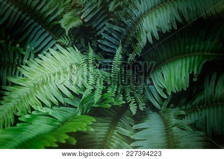 Close Up Photo Of Large Lush Green Fern Leaves In Nature