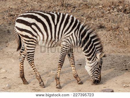 Zebra. Large horse Zebra in the Savannah, Kenya.