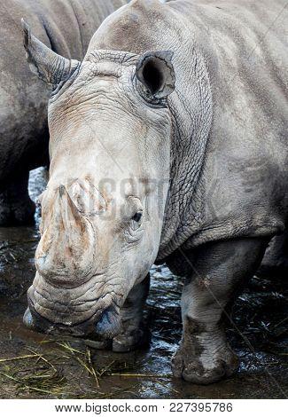 Muzzle of the Rhinoceros near the river. Large rhinoceroses.