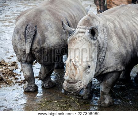 Family of rhinoceroses by the river. Large rhinoceroses.