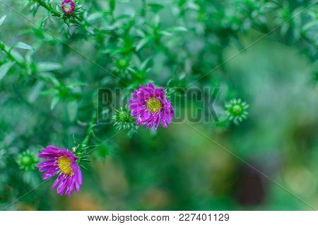 Beautiful Lilac Pink Chrysanthemum As Background Picture. Chrysanthemum Wallpaper, Chrysanthemums In