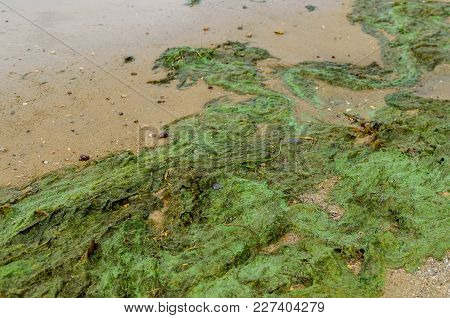 Green Algae Pollution On A Bank Of The River