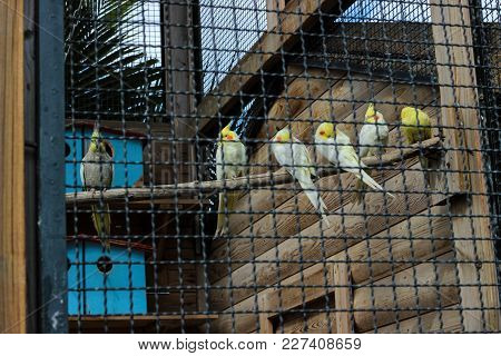 Six Yellow Parrots Sitting On The Branch Behind The Railing