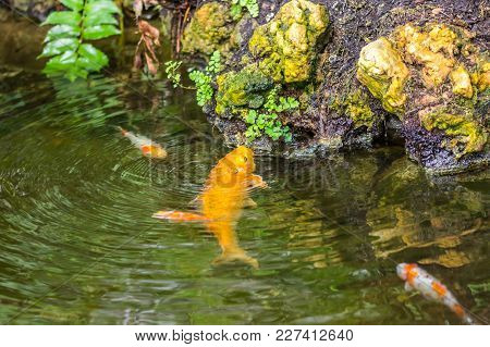 The Gold Fish In Small Pond Is Eating The Green Leaves On The Rock, Near The Pond