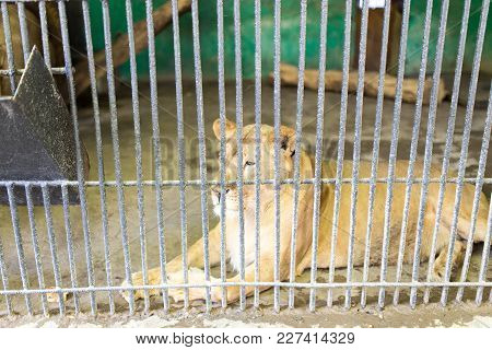 Lion Behind A Fence In Zoo . In The Park In Nature
