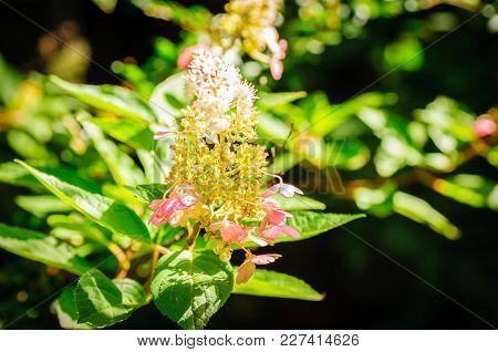 Hydrangea Flower Branch On Green Leaf Background In Light Garden.