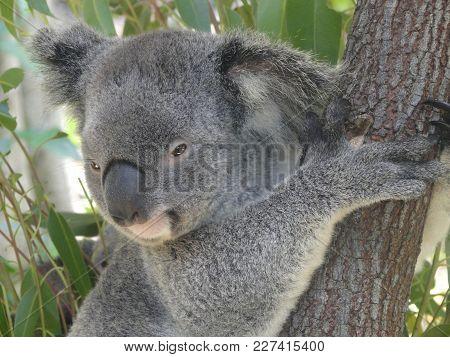 Koala In Tree At Kuranda In Australia