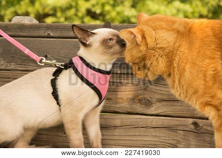Young Siamese kitten in harness sniffing on an adult ginger tabby