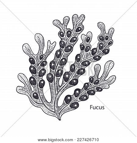 Realistic Medical Water Plant Fucus. Vintage Engraving. Vector Illustration Art. Black And White. Ha