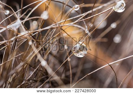 Water Droplets From Early Morning Rain Or Dew Suspended From Dried Grass With Reflections Mirroring