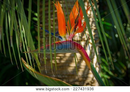 Vibrant Bird If Paradise Flower In A Tropical Setting By A Palm Tree.