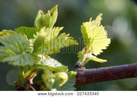 Young Inflorescence Of Grapes On The Vine Close-up. Grape Vine With Young Leaves And Buds Blooming O