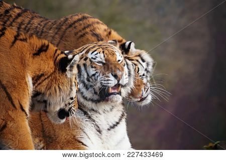Close Up Of Three Amur Tigers, Playing By Rubbing Their Heads Together, Showing Affection. One With