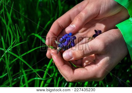 Two Baby Hands Touch Flowers, Palms Hug Blue Flower On Green Grass Spring Bright Sunny Day