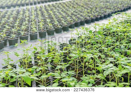 Tomato Seedlings In A Greenhouse. Greenhouse Seedlings.