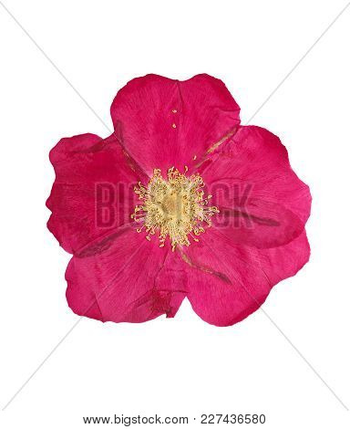 Pressed And Dried Pink Delicate Transparent Flower Wild Rose, Isolated On White Background.  For Use