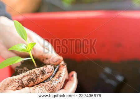 Woman Planting Seedlings In Greenhouse Greenhouse Seedlings.