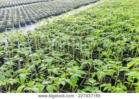 Tomato Seedlings In A Greenhouse. Seedlings In Greenhouse