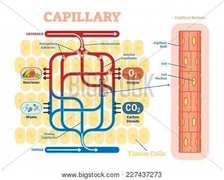 Capillary Schematic, Anatomical Vector Illustration Diagram With Blood Flow. Educational Information