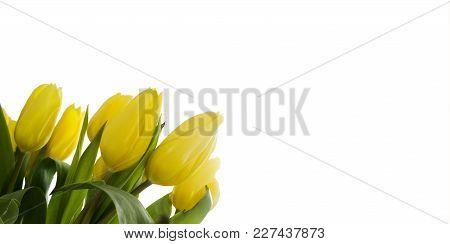 Beautiful Yellow Tullips On White Background. Shot In Studio
