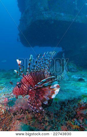 Devil fire fish, Indian ocean underwater