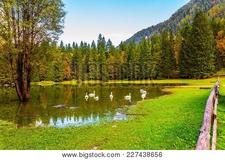 The lovely flock of white swans swims and reflects in the smooth water. The lake in Northern Italy - Lago de Fusine. Concept of ecological tourism